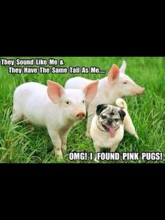 "Cute little pug makes a little discovery and finds pigs and thinks that they're ""pink pugs""!"