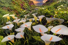 In Big Sur California, There's a Valley Leading to the Beach Lined with Wild Calla Lilies http://waveavenue.com/profiles/blogs/wild-calla-lilies-at-garrapata-state-park-big-sur-california