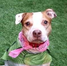 SAFE!!! - TUFEE -16532 - - Manhattan TO BE DESTROYED 01/04/18 A volunteer writes: Tuffee is an endearing gal who is as sweet as a toffee..She is so cute in her cream and butterscotch coat, waiting quietly by her door, all eyes on me …Of course I will take you out…Tuffee is a very pleasant walker, likely house trained and interested in other dogs in a healthy way.She wears a harness not because she is a puller on the leash but because she suffers from an ear infection tha