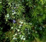 This picture of juniper berries illustrates my post about arthritis and provides the recipe for an effective home-remedy--gin-soaked raisins. Chronic Arthritis, Prevent Arthritis, Fibromyalgia, Natural Skin Toner, Natural Oils, Natural Health, Juniper Berry Essential Oil, Essential Oils, Gin Soaked Raisins