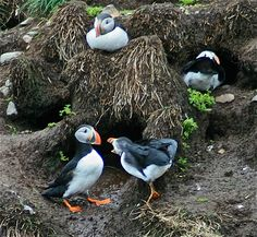 Atlantic puffins in Witless Bay, Newfoundland. Newfoundland And Labrador, Trip Planning, Places Ive Been, My Photos, Beautiful Places, Canada, Bird, Travel, Animals