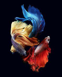 Pretty Fish, Beautiful Fish, Colorful Fish, Tropical Fish, Live Fish Wallpaper, Betta Fish Types, Carpe Koi, Siamese Fighting Fish, Fish Drawings