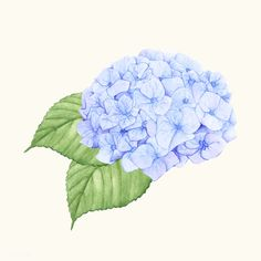 Hand drawn hydrangea flower isolated | free image by rawpixel.com