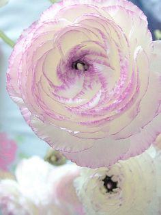 Ranunculus..........La perfección existe!