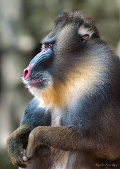 Wise Baboon