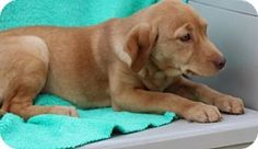 Yardley, PA - Golden Retriever/Dachshund Mix. Meet Patty, a puppy for adoption. http://www.adoptapet.com/pet/17405402-yardley-pennsylvania-golden-retriever-mix