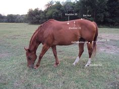 Acupressure for Back Pain in Horses