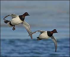 Couple of male Canvasbacks