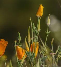 Wind Wolves:  Poppy Collection by Wayne Wong on Capture Kern County // This grouping is almost like a florists arrangement.