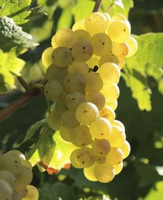 Grape of the Month: Learn about Riesling