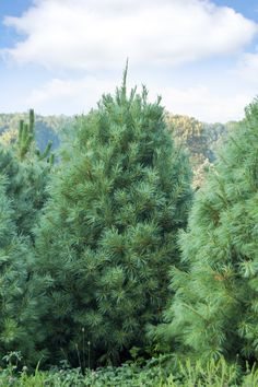 TOP 10 Fastest Growing Shade Trees - The Eastern White Pine is a beautiful fast-growing evergreen with soft blue-green needles. It makes a great windbreak or hedge in addition to a stunning specimen tree in the landscape. Mature trees are 50–80 feet high by 20–40 feet wide.