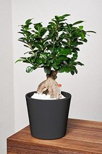 1000 ideas about bonsai ficus on pinterest bonsai bonsai trees and bougainvillea bonsai. Black Bedroom Furniture Sets. Home Design Ideas