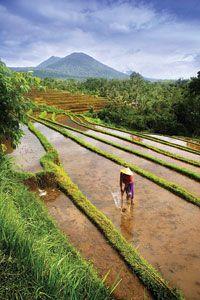 ~~~ricefields-pupuan-tabanan~~~