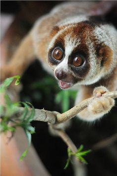 Bell, the slow loris