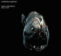 Most bizarre animals in the world is found in the deepest sea of the world. Those bizarre animals just can be caught by deep sea camera. These animals are Deep Sea Animals, Deep Sea Creatures, Weird Creatures, Mariana Trench, Bizarre Animals, Unusual Animals, Frilled Shark, Dragon Fish, Pisces