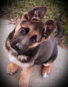 German Shepherd pupppppy!!!!