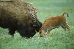 American bison calf butting heads with his mother.