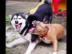 Dog Fight! 110lb Alaskan Malamute (Tonka) takes on 80lb Pitbull (Capone)