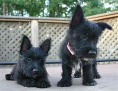 Scottish Terrier puppies! Cute!