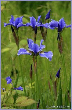 Siberian Iris – Photo by Lillian Egleston
