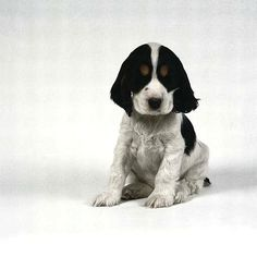 I love the way this little baby black and white Cocker Spaniel looks!