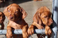 """""""Puppies"""" So Cute!! Courtesy of Vistercil's Vizslas ~"""