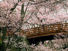 One day, I want to experience the Cherry Blossom Festival in Japan.