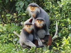 Red-shanked Douc Photography tours in Son Tra, Da Nang 3 days Photography Tours, Da Nang, Primates, Insects, Cute Animals, Wildlife, Red, Pretty Animals, Primate