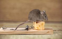 10 Present Day Animals which are Production of Evolution Peppermint Oil For Mice, Mouse Deterrent, Crawl Space Vents, Mice Removal, Getting Rid Of Mice, Mouse Traps, Present Day, How To Get Rid, Wallpaper Backgrounds