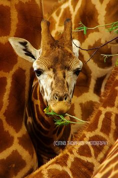 giraffe -- by rina thompson photography