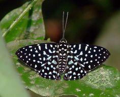 https://flic.kr/p/5PYK52 | metalmark butterfly: Napaea beltiana?? | Family Riodinidae/Metalmarks.....NE Peru rainforest, Amazon Basin