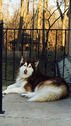 Giant Alaskan Malamute, Red Husky, Malamute Puppies, Wolves, Dog Breeds, Animales, Dogs, Wolf, Species Of Dogs