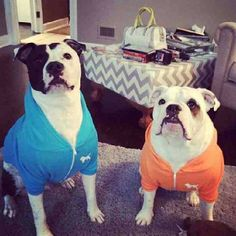 They are brothers from another mother but they both dislike the cold weather! Good thing they have new #OriginalBully #Dog #Hoodies to keep them warm, thanks to @Gena Ng King for this #cute pic! #pitbull #bulldog #dogs #pets #bully #bestfriends #family #dontbullymybreed #picoftheday #inbullywetrust #ogbully #ogb #orange #blue #bff