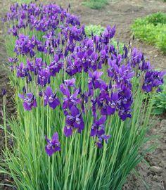 Caesars Brother Siberian Iris   Grimm's Gardens