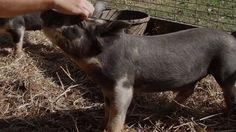 Berkshire Pigs   Farm Raised With P. Allen