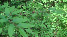 「クリタマバチの虫こぶ」 木に生えた黒い花か実かと思ったら、クリタマバチというハチの巣。 栗の木のちょうど芽吹く部分に卵が産み付けられていて、写真のような黒いこぶをつくります。このこぶの中でクリタマバチの幼虫が育ちます。栗の栄養を吸い取り、枯らしてしまうこともある、けっこうこわいやつです。  台温泉登山コースにて、2014年5月撮影。