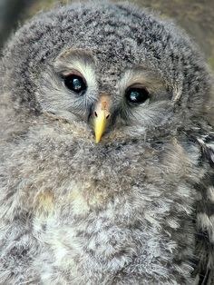 "Young Ural Owl * * "" I'D RATHER BE A COWARD DEN BRAVE CUZ PEOPLE HURTS YOU WHEN YER BRAVE."""