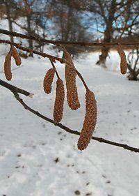 Hasselpollen i luften  Oavsett om det är snö och kyla eller några plusgrader är det ännu för kallt för att pollen ska hitta till pollenfällorna. Däremot hittar de allra första pollenkornen till känsliga näsor redan nu!