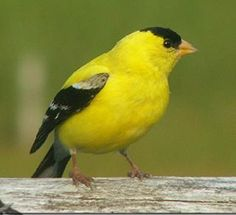 Golden Finch-male: I love their song, they were all over Indiana