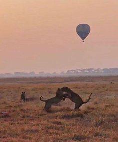 Busanga Plains Hot Air Ballooning Season off to a Roaring Start Lion Pride, Close Proximity, Birds Eye View, Wilderness, Safari, Sunrise, Wildlife, Seasons