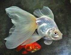 Blue Claw uploaded this image to 'goldfish'. See the album on Photobucket.