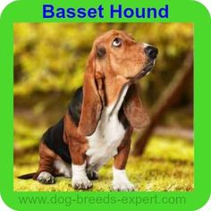 Basset Hound: Is this remarkable dog the Breed for You? Akc Dog Breeds, Dog Breeds List, Best Dog Breeds, Large Dog Breeds, Best Dogs For Kids, Child Friendly Dogs, Best Apartment Dogs, Boston Bull Terrier, Belgian Malinois Dog