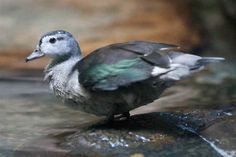 indian pygmy goose