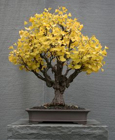 Ginkgo biloba Ginkgo (Maidenhair Tree) In training since 1896 Donated by Masayuki Fujio, 1975