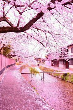 cherry blossom photography - The Most Beautiful and Japanese Blossom Tree to see Cherry Blossom Petals, Cherry Blossom Japan, Blossom Trees, Japanese Cherry Blossoms, Pink Blossom, Beautiful World, Beautiful Places, Frühling Wallpaper, Japan Sakura