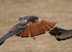 Adult Red-tailed Hawk- This is what I saw fly through my backyard recently.  CRAZIEST thing ever!!