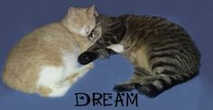 DREAM CATS... I made this with a photo of Kira & Marley laying together added word: Dream. -- cats, cat, tabbies, tabby, feline, furkid, sleep, cuddle, together, snuggle, hug, friends, friendship, kitties, love, dreamers, cute, photo, meme, google chrome theme.