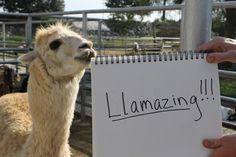 Describe Black Llama in one word:   White Llama Speaks Out For The First Time About His Daring Escape