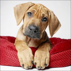 Meet 2013's first Dog of the Month, Morgan, the Rhodesian Ridgeback puppy! What a face! Amanda Jones photography