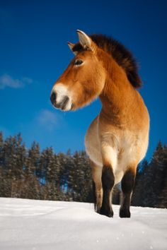 Przewalski`s Horse , the only true wild horse existing in the world today . No, the brumbies and mustangs of Australia and North America don't count , as those are technically 'feral' horses . Feral and wild are two different things.